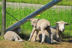 Sheep and Lambs Royalty Free Stock Photo
