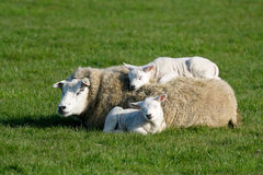 Sheep with lambs. Two lambs lying with and on mothers back Royalty Free Stock Images