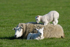 Sheep with lambs. Two lambs lying with and on mothers back Stock Images