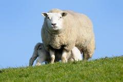Sheep with lambs. Sheep nursing her two lambs Royalty Free Stock Photo
