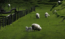 Sheep with lambs Royalty Free Stock Photos