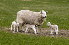 Sheep with lambs. Sheep with three newborn lambs Royalty Free Stock Photo