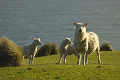 Sheep and lambs. Mother sheep and two lambs with grassy filed and ocean in background Stock Images