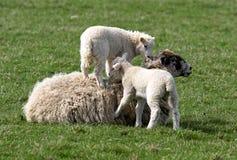 Sheep and lambs. Two lambs playing on sheep stock photo