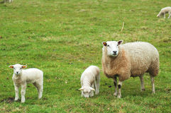 Sheep with lambs Stock Image