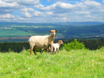 Sheep with lambs Stock Photography