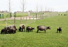 Sheep and lambs Royalty Free Stock Images