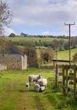 Sheep and lambs, Cotswolds Stock Images