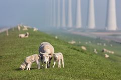 Sheep with lambs at dike near Dutch wind turbine farm. Sheep with lambs at dike near wind turbine farm in Flevoland, The Netherlands stock image