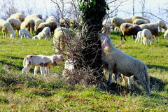 A sheep and lambs eating from a tree. A sheep and lambs are eating from a tree in a sunny day Stock Photos