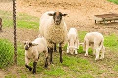 Sheep and Lambs Stock Photo