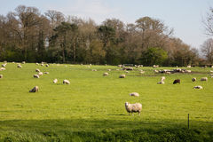 Sheep and lambs. Sheep feeding on farmland in Somerset England Royalty Free Stock Photos
