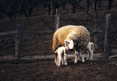 Sheep with lambs Stock Photos