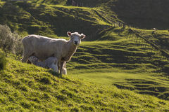 Sheep and lambs feeding in Spring Stock Photography