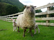 Sheep with lambs. A female sheep with its two lambs stock photography