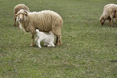 The sheep and lambs in the field. Sheep and lambs in the field Stock Photos