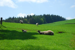 Sheep and lambs in a field Royalty Free Stock Photography
