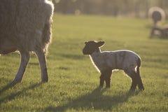 Sheep and lamb at grass royalty free stock photos