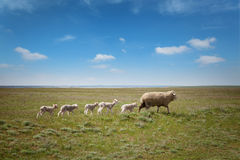 Sheep with lambs on the field Royalty Free Stock Photo