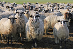 Sheep and lambs Royalty Free Stock Photography