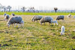 Sheep and Lambs Royalty Free Stock Image