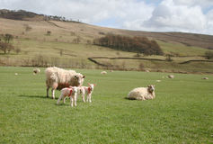 Sheep and Lambs in the Forest of Bowland,Lancashire, U.K. A field of sheep with a mother and two new born lambs watching cautiously royalty free stock photo