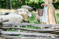 Sheep and lambs are getting fed their food. Royalty Free Stock Images