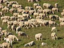 Sheep lambs and goats grazing  in the mountains in autumn Royalty Free Stock Photos