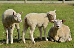 Sheep and lambs on grass Royalty Free Stock Photography