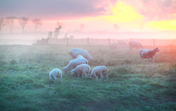 Sheep and lambs graze on pasture at sunrise Stock Image