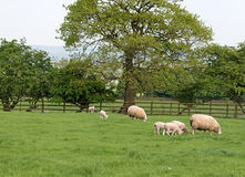 Sheep and Lambs Grazing. Family of sheep and lamb grazing in spring meadow stock images
