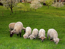 Sheep with lambs grazing in backyard Royalty Free Stock Image