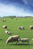 Sheep & Lambs grazing in British countryside Royalty Free Stock Images