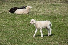 Sheep and lambs grazing Royalty Free Stock Photo