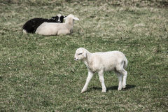 Sheep and lambs grazing Stock Photo