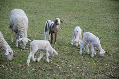 Sheep and lambs. Grazing in a meadow Royalty Free Stock Photos