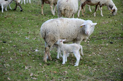 Sheep and lambs. Grazing in a meadow Stock Image