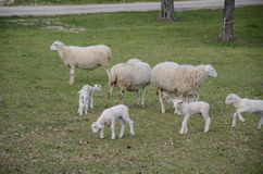Sheep and lambs Royalty Free Stock Photography