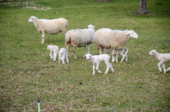 Sheep and lambs Royalty Free Stock Photo