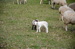 Sheep and lambs. Grazing in a meadow Stock Photo