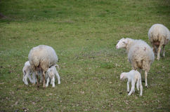 Sheep and lambs. Grazing in a meadow Stock Photography