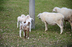 Sheep and lambs. Grazing in a meadow Royalty Free Stock Image
