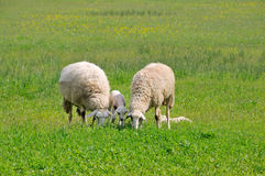Sheep and lambs grazing on meadow Stock Photography