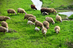 Sheep grazing on green meadow. Sheep and lambs grazing in the meadow on the edge of the water Royalty Free Stock Images
