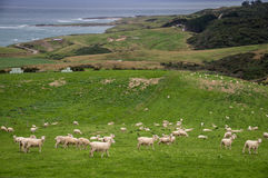 Sheep and lambs grazing on picturesque landscape in New Zealand Royalty Free Stock Image