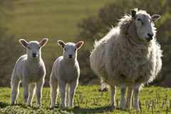 Sheep and lambs grazing Royalty Free Stock Images