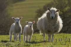 Sheep and lambs grazing Stock Image