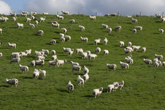 Sheep and lambs grazing Royalty Free Stock Photography