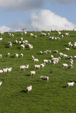 Sheep and lambs grazing Royalty Free Stock Image