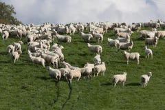 Sheep and lambs grazing stock photos